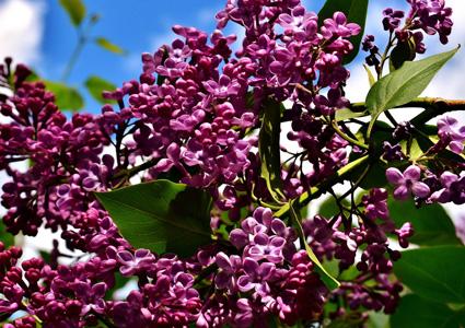 紫色鲜花植物背景