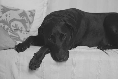 沙发上的狗
