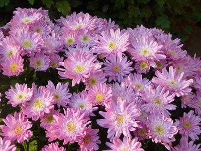 粉色花朵植物背景