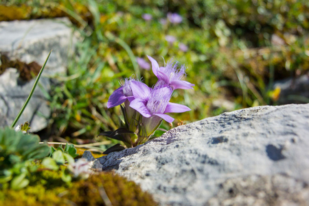 长在石头中间的紫花