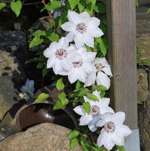 白花石头木