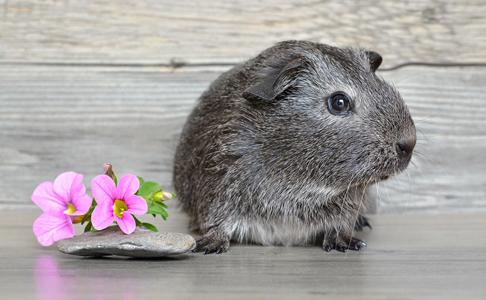 鲜花和宠物老鼠