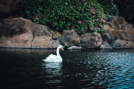 鲜花石头白天鹅