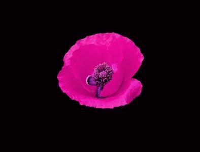 黑色背景和粉色花朵