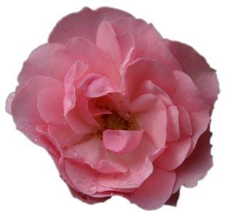 带水珠的粉红色花朵