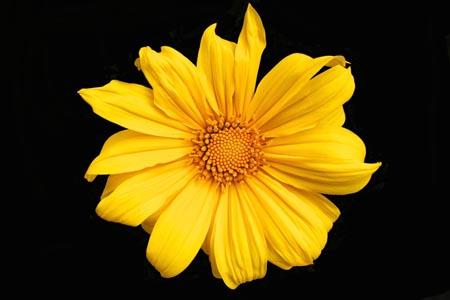 黑背景黄色的花朵