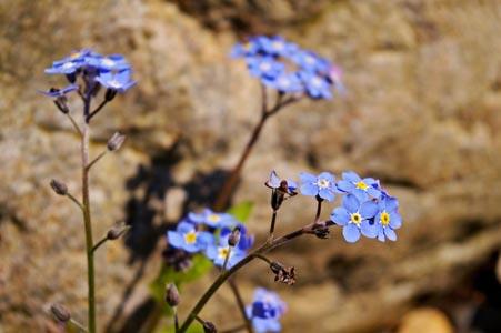 石头背景上的蓝色花朵