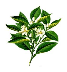 绿叶和茉莉花