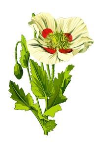 卡通罂粟花