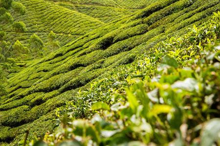 高清茶园背景