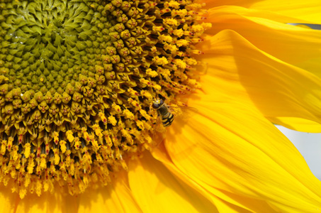 葵花上的蜜蜂