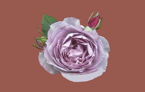 紫色的玫瑰花