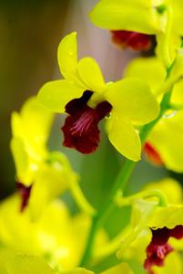 黄色的兰花