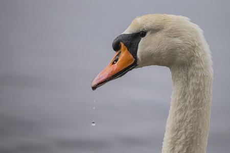 高清天鹅摄影