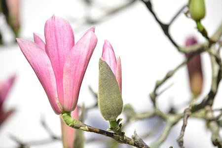 粉红玉兰花