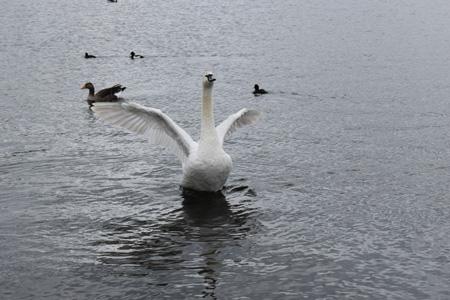 河流上的天鹅