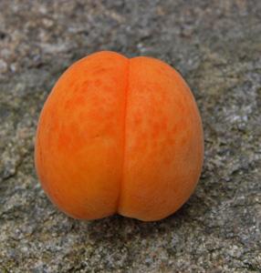 水果杏摄影