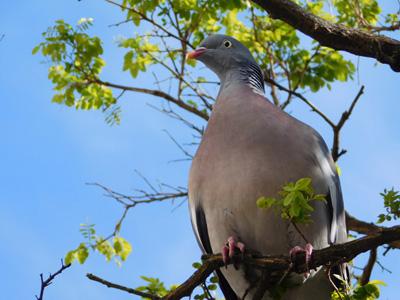 树枝上的大鸽子