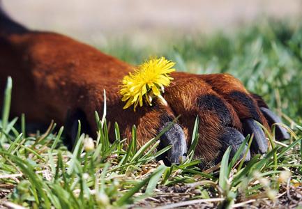 狗掌上的花