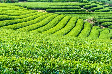 乡村茶园背景
