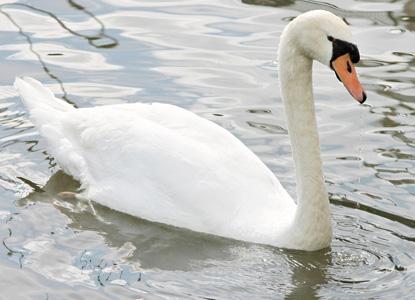 河流中的天鹅