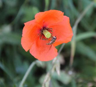 虞美人花里的蜜蜂