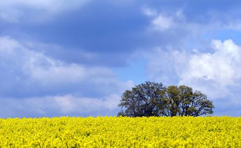 油菜花里的小树