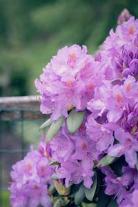 粉色杜鹃花素材