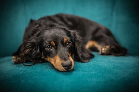 趴在沙发上的宠物狗