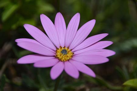 粉色玛格丽特花