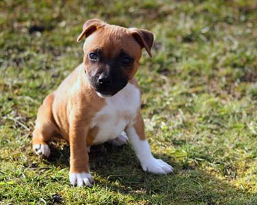 草地上的小狗