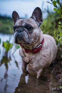水中的沙皮狗