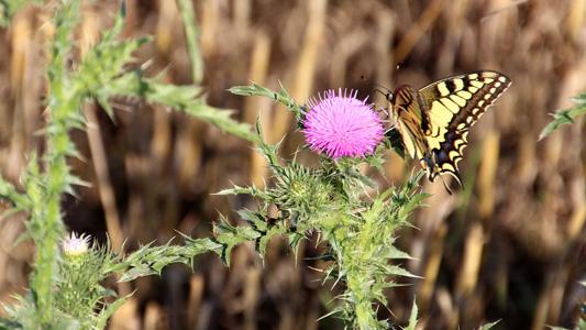 大蓟花上的蝴蝶