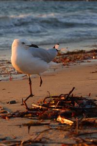 沙滩上的海鸥