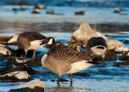河流上的野鸭