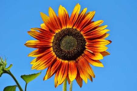 美丽的太阳花