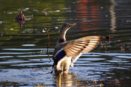 河流中的野鸭