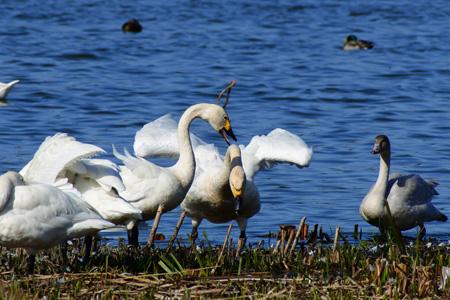 蓝色河流草地与天鹅