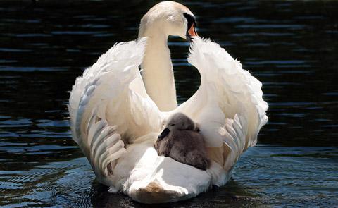 高清天鹅动物摄影